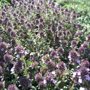 Buy Thymus nitidus 'Peter Davis' Thyme Peter Davis | Herb Plant for Sale in 9cm Pot
