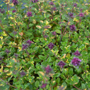 Buy Thymus serpyllum 'Rainbow Falls' Thyme Rainbow Falls | Herb Plant for Sale in 9cm Pot