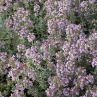 Buy Thymus valgaris 'Silver Queen' Thyme Silver Queen | Herb Plant for Sale in 9cm Pot