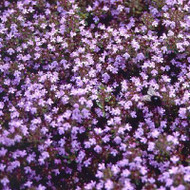 Buy Thymus serpyllum 'Russetings' Thyme Russettings | Herb Plant for Sale in 9cm Pot