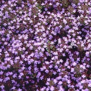 Buy Thymus serpyllum 'Russetings' Thyme Russettings | Herb Plant for Sale in 9cm Pot