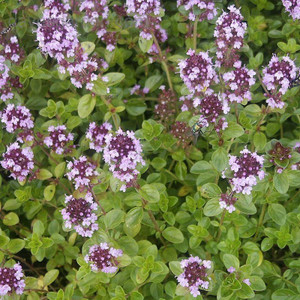 Buy Thymus pulegioides 'Tabor' Thyme Tabor | Herb Plant for Sale in 9cm Pot