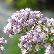 Buy Valeriana officinalis Valerian | Potted Herb Plant | Hooksgreen Herbs