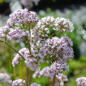 Buy Valeriana officinalis Valerian | Herb Plant for Sale in 1 Litre Pot