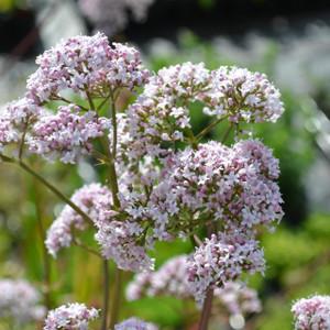 Buy Valeriana officinalis Valerian | Herb Seeds for Sale