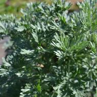 Buy Artemisia absinthium 'Wormwood' | Buy Herb Plant Online in 1 Litre Pot