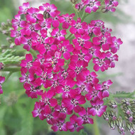 Achillea millefolium 'Cerise Queen' |Yarrow 'Cerise Queen'| Herb Plant for sale in 1 Litre pot