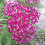 Achillea millefolium 'Cerise Queen' |Yarrow 'Cerise Queen'| Herb Plant for sale in 1 Litre pot