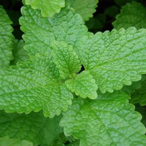Buy Melissa officinalis Lemon Balm | Buy Herb Plant Online in 9cm Pot