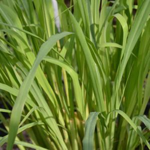 Buy Cymbopogon citratus 'Lemon Grass' | Herb Plant for Sale in 9cm Pot