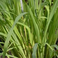 Buy Cymbopogon citratus 'Lemon Grass'   Herb Plant for Sale in 9cm Pot