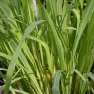 Buy Cymbopogon citratus 'Lemon Grass' | Herb Plant for Sale in 9cm Pot