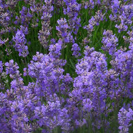 Buy Lavandula angustifolia 'Ashdown Forest' Lavender, Ashdown Forest | Herb Plant for Sale in 9cm Pot