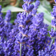 Buy Lavandula angustifolia 'Cedar Blue' Lavender, Cedar Blue   Herb Plant for Sale in 9cm Pot