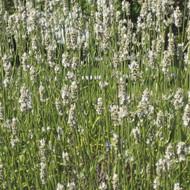 Buy Lavandula x intermedia 'Edelweiss' Lavender, Edelweiss | Buy Herb Plant Online in 9cm Pot