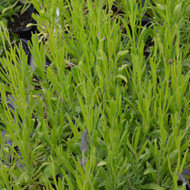 Buy Lavandula x intermedia Lavender,'Grappenhall' | Herb Plant for Sale in 9cm Pot