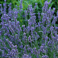 Buy Lavandula x intermedia 'Grosso' Lavender, 'Grosso' | Herb Plant for Sale in 9cm Pot