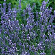 Buy Lavandula x intermedia 'Grosso' Lavender, 'Grosso' | Herb Plant for Sale in 9cm Pot