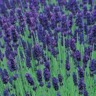 Buy Lavandula angustifolia 'Hidcote' Lavender Hidcote | Herb Plant for Sale in 9cm Pot