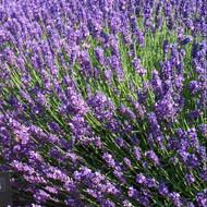 Buy Lavandula angustifolia 'Imperial Gem' Lavender 'Imperial Gem' | Herb Plant for Sale in 9cm Pot