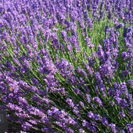 Buy Lavandula angustifolia 'Imperial Gem' Lavender 'Imperial Gem' | Herb Plant for Sale in 9cm Pot