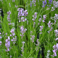 Buy Lavandula angustifolia 'Jean Davis' Lavender Jean Davis | Herb Plant for Sale in 9cm Pot