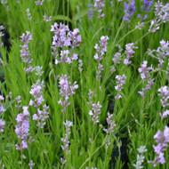Buy Lavandula angustifolia 'Jean Davis' Lavender Jean Davis | Herb Plant for Sale in 9cm Pot
