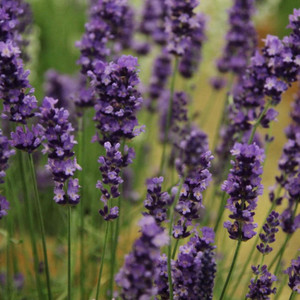 Buy Lavandula angustifolia 'Loddon Blue' Lavender Loddon Blue | Herb Plant for Sale in 9cm Pot