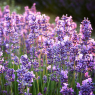 Buy Lavandula x intermedia 'Lullingstone Castle' Lavender Lullingstone Castle | Herb Plant for Sale in 9cm Pot