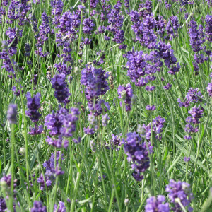 Buy Lavandula angustifolia 'Munstead' Lavender Munstead | Herb Plant for Sale in 9cm Pot