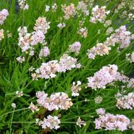 Buy Lavandula angustifolia 'Rosea' Lavender Rosea | Herb Plant for Sale in 9cm Pot
