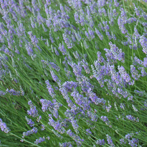 Buy Lavandula angustofolia 'Princess Blue Lavender Princess Blue | Herb Plant for Sale in 9cm Pot