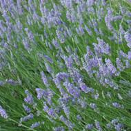 Buy Lavandula angustofolia 'Princess Blue Lavender Princess Blue   Herb Plant for Sale in 9cm Pot