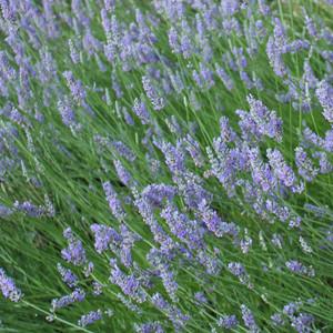 Buy Lavandula angustofolia 'Princess Blue Lavender Princess Blue | Herb Plant for Sale in 9cm Pot