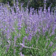 Buy Lavandula angustifolia 'Twickel Purple' Lavender 'Twickel Purple'   Herb Plant for Sale in 9cm Pot