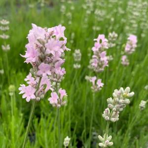 Lavandula angustifolia 'Little Lottie' (Lavender 'Little Lottie') | Herb Plant for sale in 1 Litre Pot