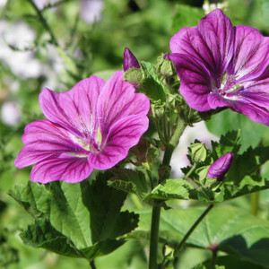 Buy Malva sylvestris 'Mauritiana', Mauritiana | Herb Plant for Sale in 1 Litre Pot