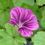 Buy Malva sylvestris 'Mauritiana', Mauritiana | Buy Herb Plant Online in 1 Litre Pot