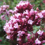 Buy Origanum laevigatum 'Herrenhausen' Oregano 'Herrenhausen' | Buy Herb Plant Online in 1 Litre Pot