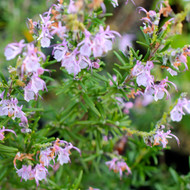 Buy Rosmarinus officinalis 'Roseus', Rosemary, Rose/Pink   Herb Plant for Sale in 1 Litre Pot