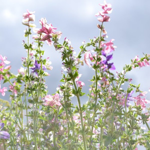 Buy Salvia viridis 'Sage Painted' | Herb Seeds for Sale