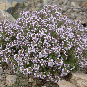 Buy Thymus vulgaris 'Thyme Common' | Herb Seeds for Sale