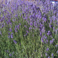 Buy Lavandula angustifolia 'Vera' Lavender Vera | Herb Seeds for Sale