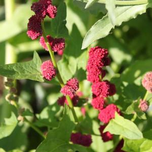 Buy Chenopodium capitatum 'Strawberry Spinach' | Buy Herb Seeds Online