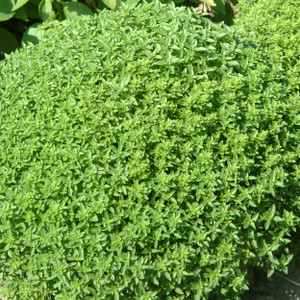 Buy Ocimum basilicum Basil, Greek | Herb Seeds for Sale