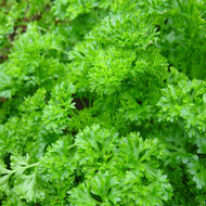 Buy Petroselinum crispum, Curled Parsley | Herb Seeds for Sale
