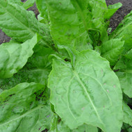 Buy Rumex acetosa Sorrel French | Herb Seeds for Sale