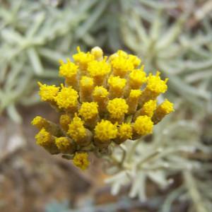 Buy Santolina chamaecyparissus 'Cotton Lavender' | Herb Plant for Sale in 9cm Pot