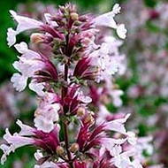 Buy Calamintha nepeta Lesser Calamint | Herb Plant for Sale in 9cm Pot