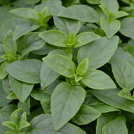 Buy Ocimum sanctum Basil, Holy | Herb Plant for Sale in 9cm Pot
